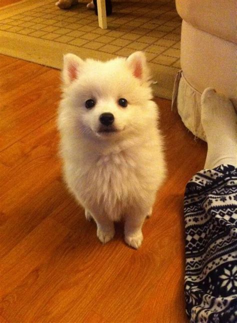 japanese spitz pomeranian 25 best ideas about japanese spitz on pomeranian pomeranian pups and