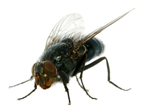 house fly common house fly extermination and pest control pest free living