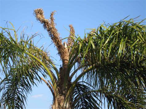 christmas palm diseases