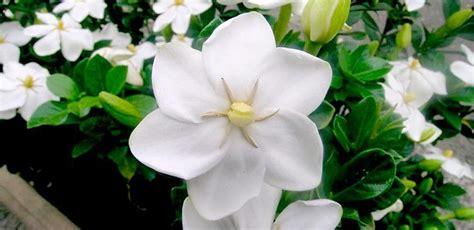 imagenes de flores gardenias imagenes guapas con flores y plantas 5 170 parte p 225 gina 115