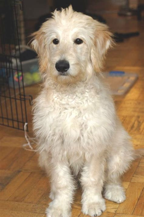 goldendoodle hair types file goldendoodle puppy jpg wikipedia