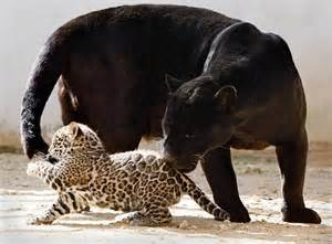 Is A Jaguar The Same As A Panther Black Panther Myths And Facts Dinoanimals