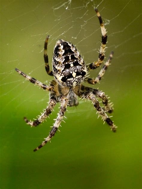 Garden Spider Uses Common Garden Spider Dukesilas S Gallery Gallery