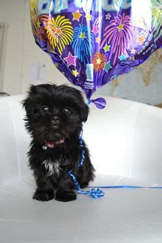 happy birthday shih tzu images happy birthday puppy on business ideas goldendoodle