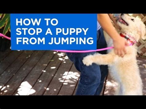 how to your to stop jumping how to stop puppy biting and chewing funnydog tv