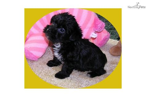 yorkie poo cost price yorkie poo puppies cost image search results