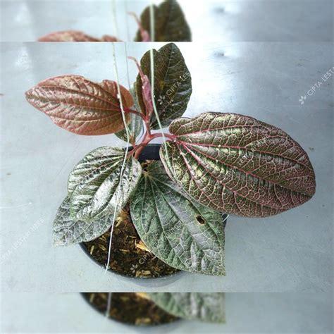 jual tanaman herbal sirih jambi merah bibit daun sirih