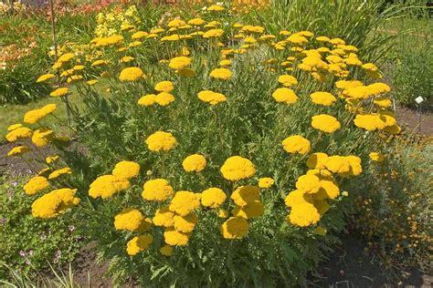 State Flower by Achillea Filipendulina Fern Leaved Yarrow Go Botany