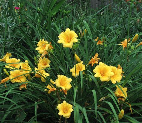 Stelan Flower hemerocallis x stella d oro greenscapes