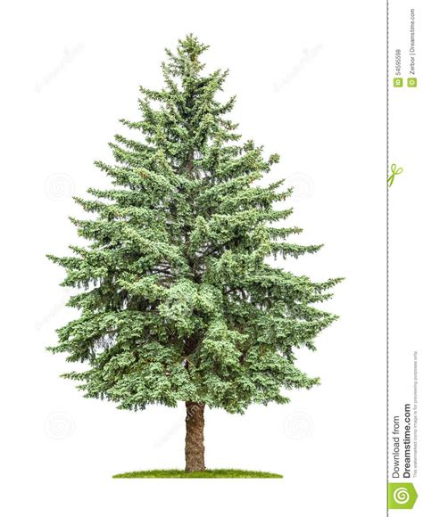 How To Make A Pine Tree Out Of Paper - pine tree on a white background stock photo image 54595598