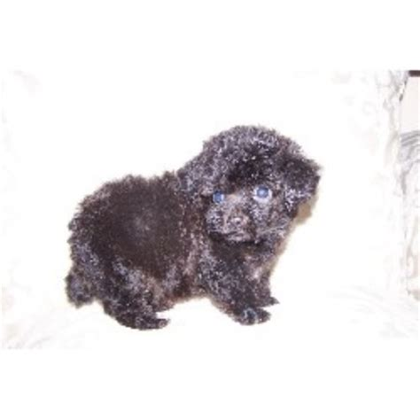 teacup puppies for sale in illinois teacup poodle puppies for sale in illinois