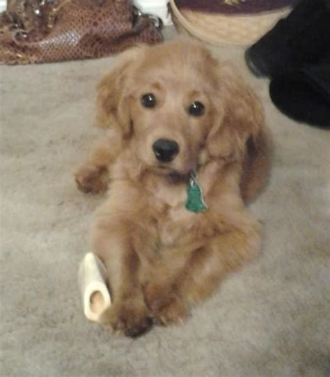 golden retriever cocker spaniel mix puppies for sale in michigan golden cocker spaniel mix attack of the