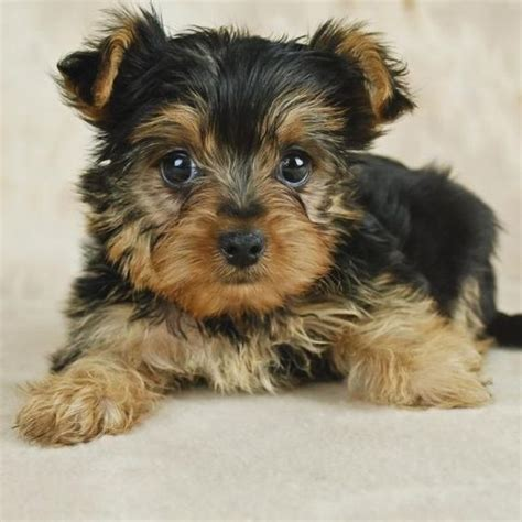 how much should a yorkie eat teacup yorkie yorkie puppy and yorkies on