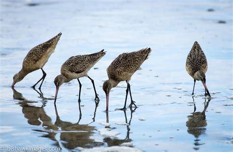 california shore birds