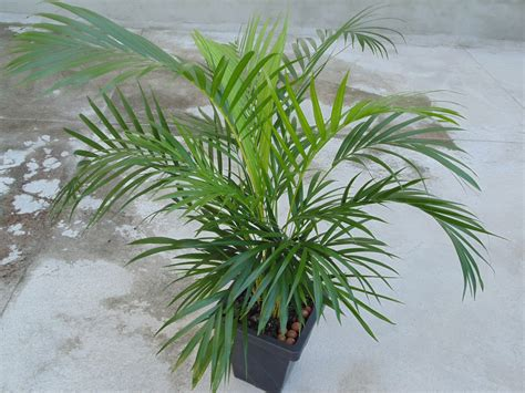 areca palm which is the right plant for your room healthinasecond com