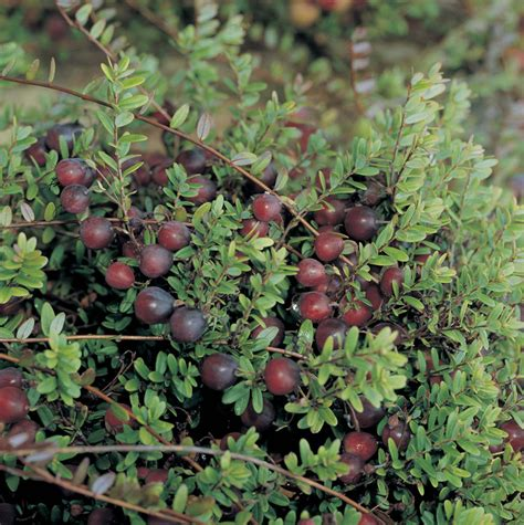 Cranberry Plant Pilgrim D. T. Brown Fruit