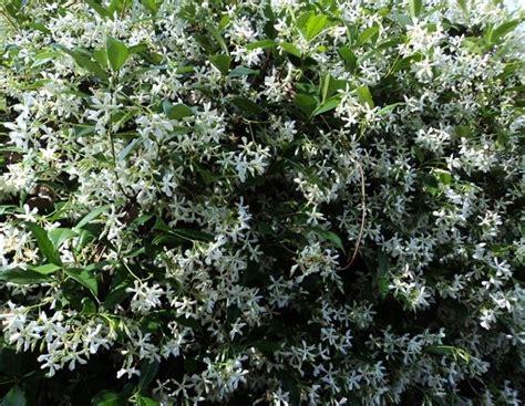 pianta sempreverde con fiori sempreverde con fiori bianchi wn22 pineglen