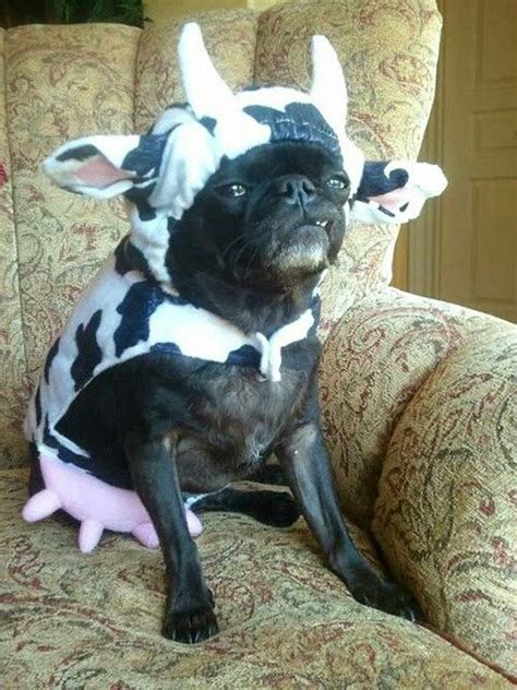 friday  celebrate    cows sitting  dogs  poke