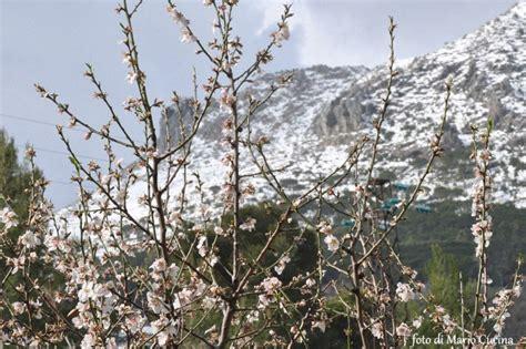 neve a san in fiore foto mandorlo in fiore tra la neve 1 di 2 palermo