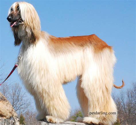 imagenes animales con pelo perros de pelo largo fotos y caracteristicas petdarling