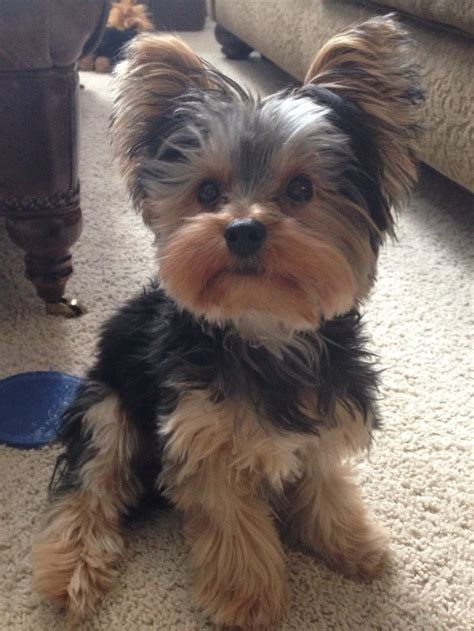 how to cut yorkie hair at home best 25 yorkshire terrier haircut ideas on pinterest