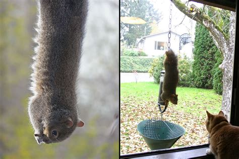 squirrel hung by nuts hungry squirrels say fall is here 60 pics