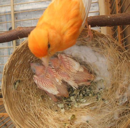 Harga Pakan Burung Ef kenari lokal cara beternak kenari