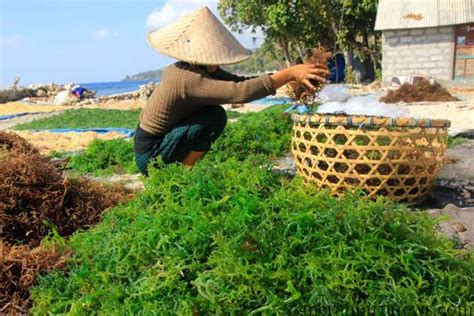 Jual Masker Wajah Rumput Laut harga jual rumput laut tembus rp 7 ribu berita kota tarakan