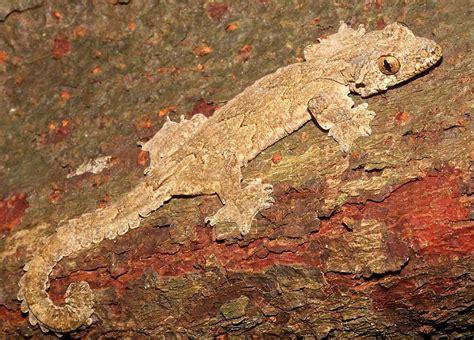 mediterranean house gecko feces