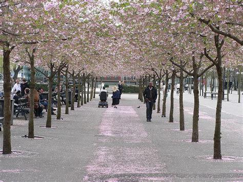nel giardino dei ciliegi la storia giardino dei ciliegi boffardi2 1