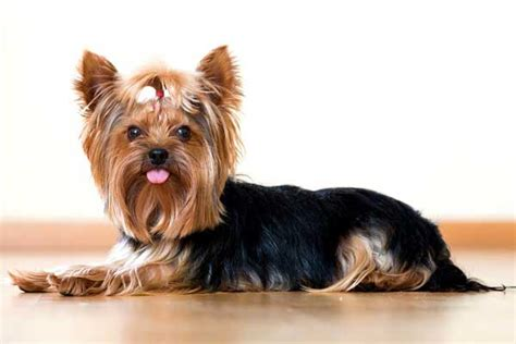 regular yorkie how to cut a yorkie hair tips and tricks yorkiemag