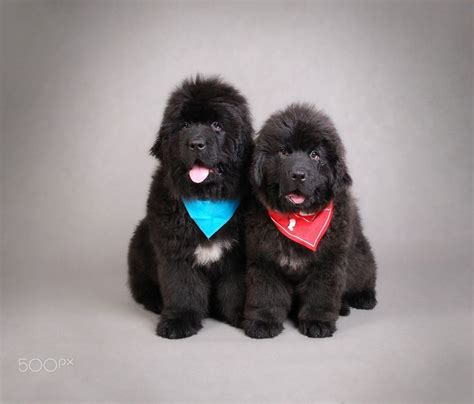 how much are newfoundland puppies 25 best ideas about newfoundland puppies on dogs newfoundland dogs