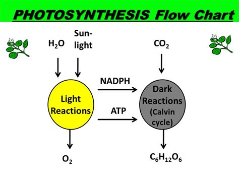 steps of photosynthesis flowchart energy photosynthesis cellular respiration ppt