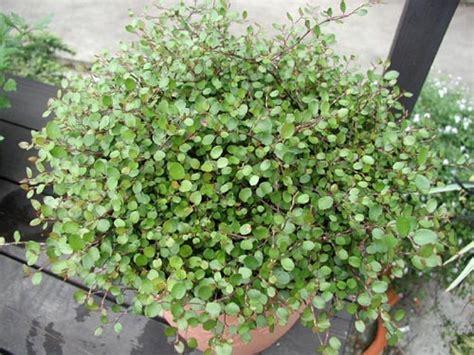 Fragrant Garden Plants - muehlenbeckia complexa glasshouse works