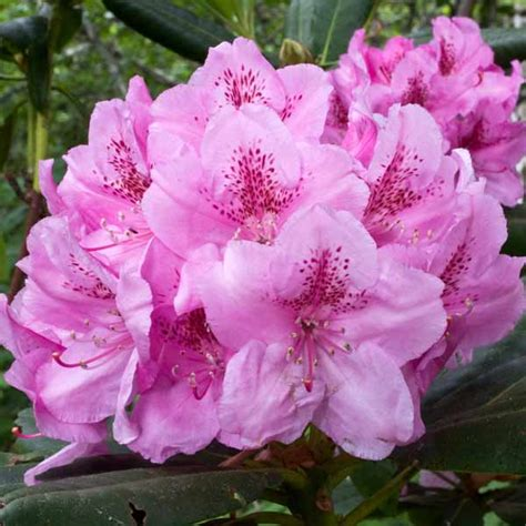 washington coast rhododendron 50 state flowers to grow