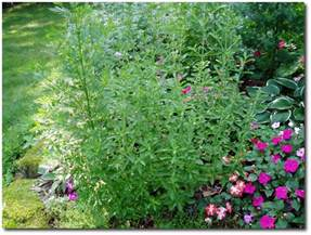 herb garden plants medicinal herbs plants september 2010