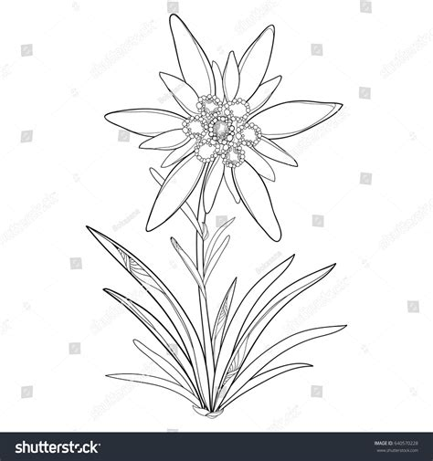 edelweiss flower coloring page vector outline edelweiss leontopodium alpinum flower stock