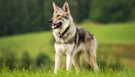 wolf breed dogs 9 wolf like breeds the difference and choose wisely top tips