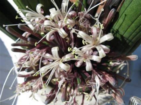 bloem vrouwentong sanseveria