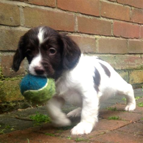 springer spaniel puppies for sale springer spaniel puppies ready for loving homes bolton greater manchester pets4homes