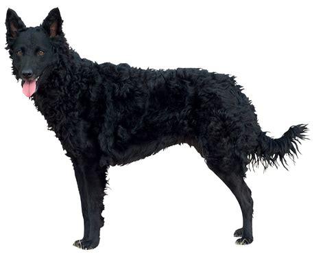 Mudi Dog Breed Information - American Kennel Club