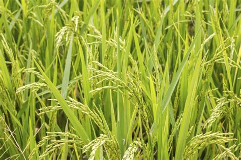 can you grow your own rice tips for planting rice