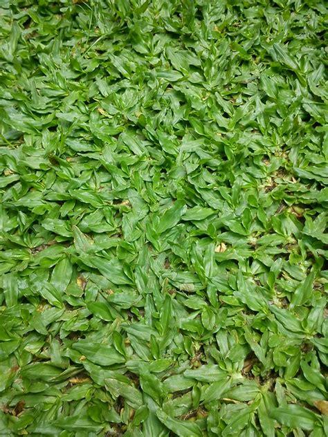 teratakkecil rumput mutiara pearl grass sungai buloh