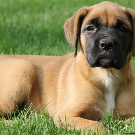 mastiff puppies for sale pa mastiff mix puppy for sale in pennsylvania