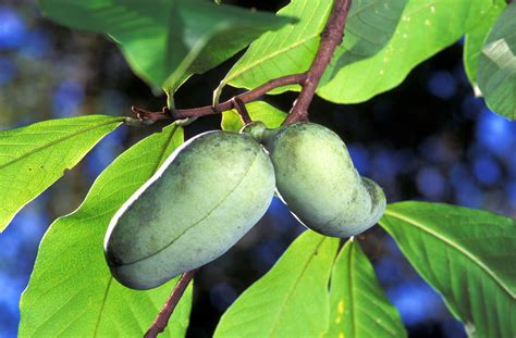 paw paw fruit tree paw paw the prairie banana of america
