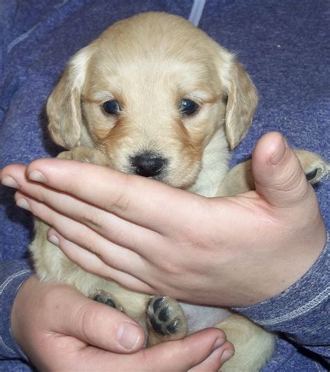 c and s ranch miniature golden retrievers c s ranch golden retrievers breeds picture