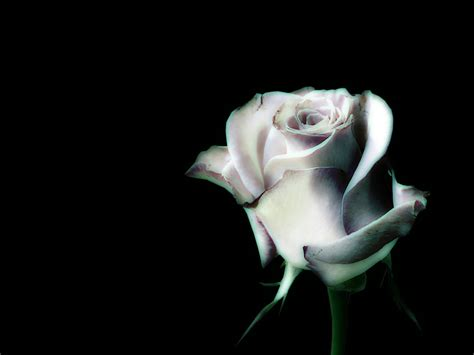 wallpaper black and white roses black and white rose wallpaper wallpapersafari