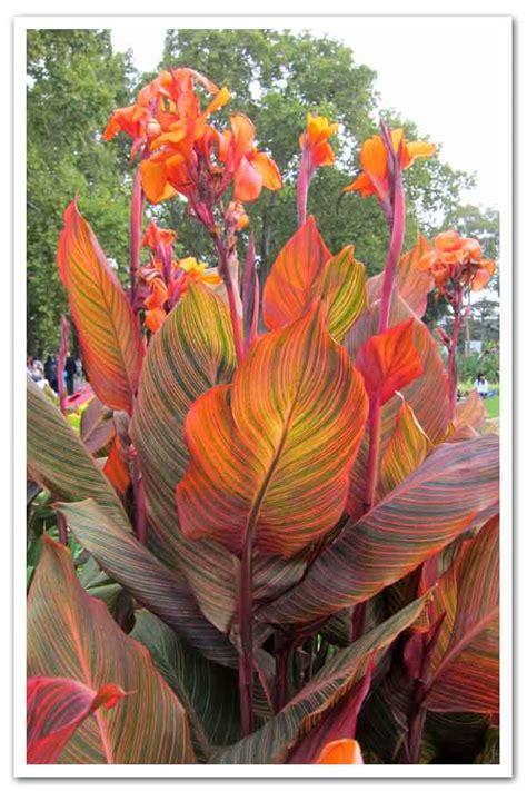 canna phasion sugar creek gardens plant nursery  st