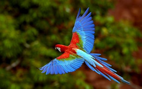 Wildlife Of The World Beautiful Parrot Wallpapers 2012 Beautiful Bird Flying