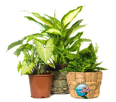 indoor plants india vendita piante online da negozio a domicilio prezzi bassi